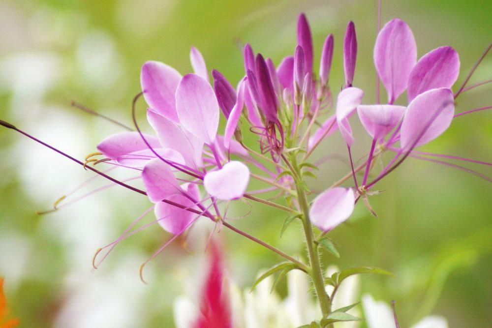 8月8日生まれの誕生花と花言葉がコレ!性格や恋愛・仕事などの誕生日占いもご紹介!