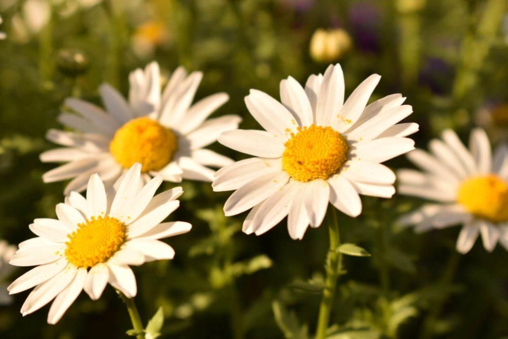 9月3日生まれの誕生花と花言葉がコレ!性格や恋愛・仕事などの誕生日占いもご紹介!