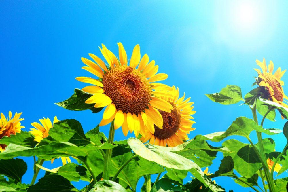 【8月の誕生花一覧】8月の誕生花・花言葉をご紹介!
