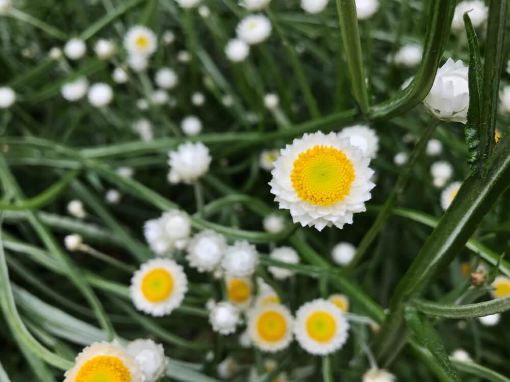 8月14日生まれの誕生花と花言葉がコレ!性格や恋愛・仕事などの誕生日占いもご紹介!