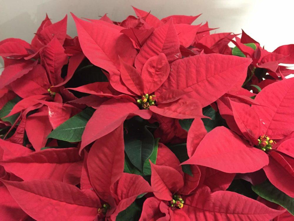 【12月の誕生花一覧】12月の誕生花・花言葉をご紹介!