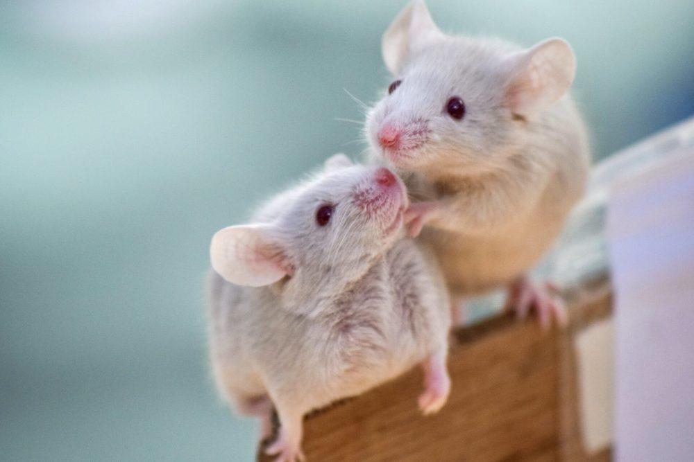 ネズミのスピリチュアルな3つの意味とは?