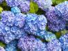 紫陽花(あじさい)の花言葉